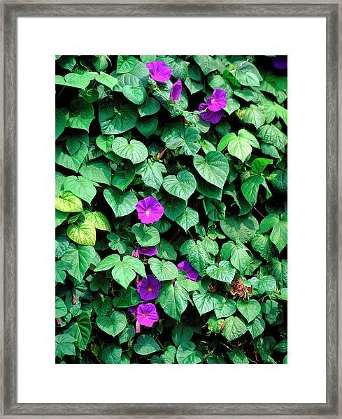Ipomoea Tricolor. Framed Print