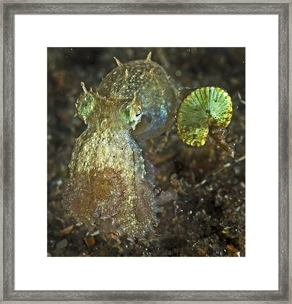Iridescent Baby Octopus Framed Print