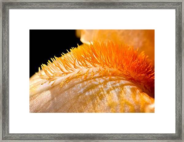 Iris Caterpillar Framed Print