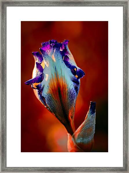 Iris In Red Framed Print