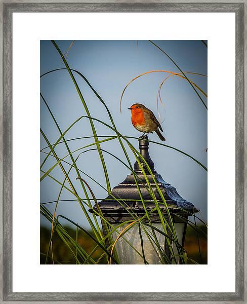 Irish Robin Perched On Garden Lamp Framed Print