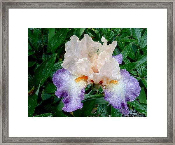 Irresistible Iris Framed Print