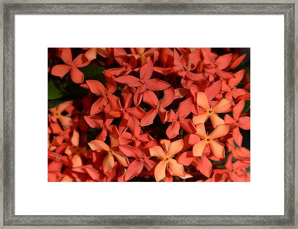 Ixora Red Framed Print