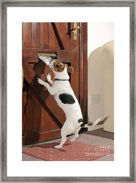 Jack Russell Terrier Gets Paper Framed Print