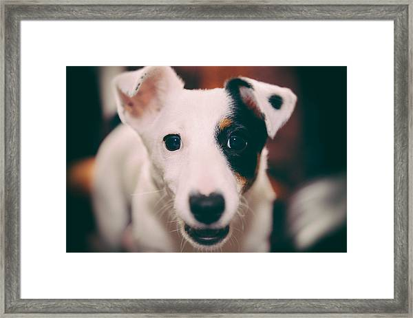 Jack Russell Terrier Puppy by James Farley