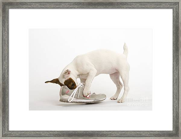 Jack Russell With Sneaker Framed Print