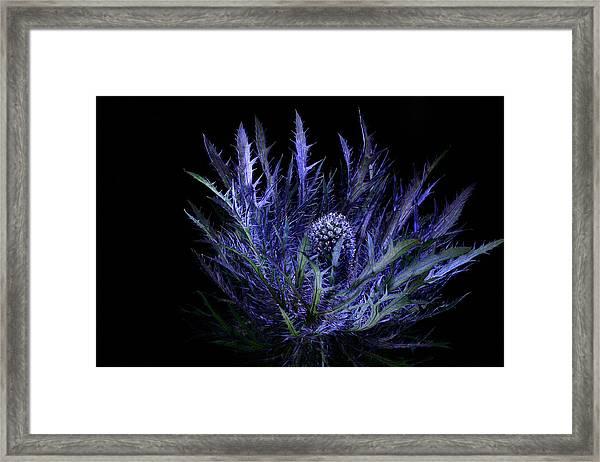 Jackpot Blue Thistle Framed Print