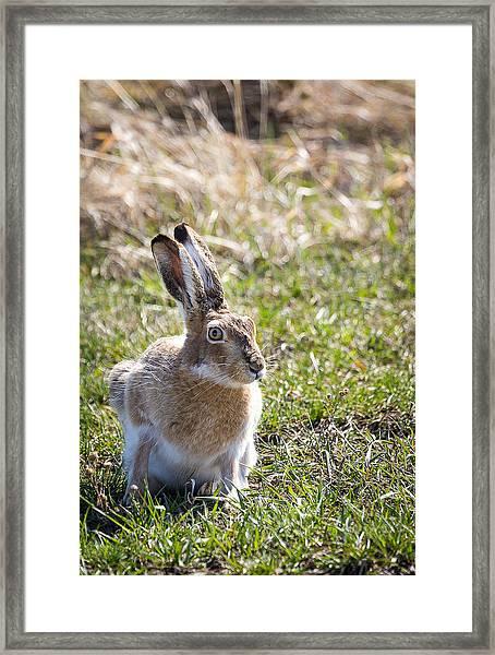 Jackrabbit Framed Print