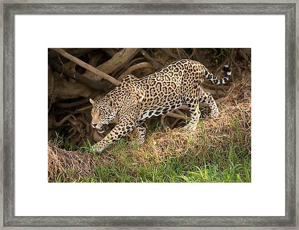 Jaguar Panthera Onca Foraging Framed Print