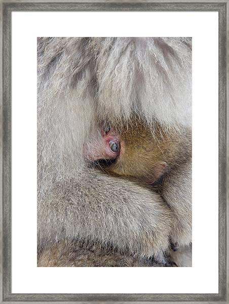 Japan, Jigokudani, Snow Monkey Baby Framed Print