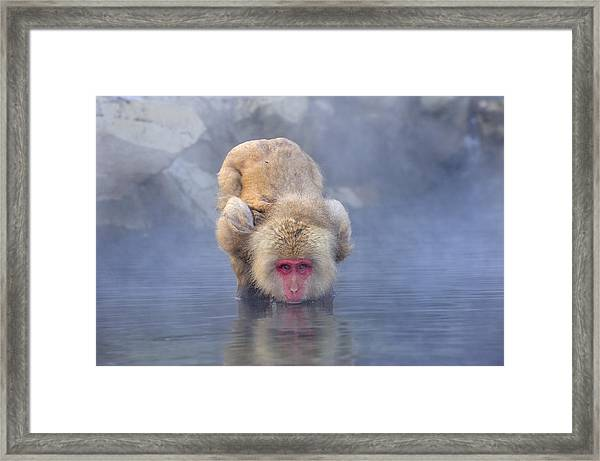 Japanese Macaque Drinking From Hot Framed Print