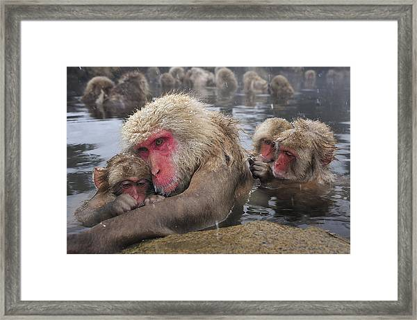Japanese Macaque Grooming Mother Framed Print