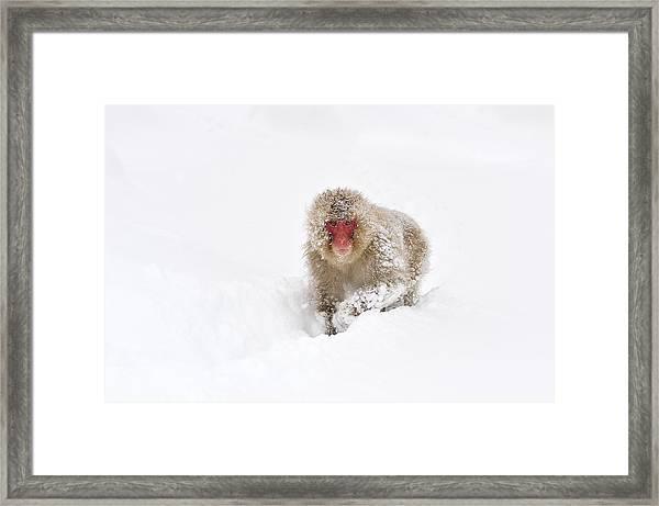 Japanese Macaque In Snow Jigokudani Framed Print