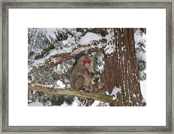 Japanese Macaque In Tree Jigokudani Framed Print