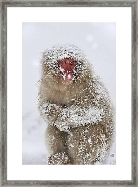 Japanese Macaque In Winter Jigokudani Framed Print