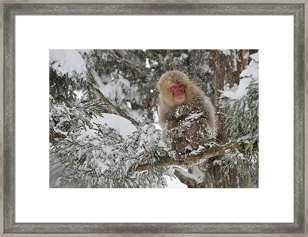 Japanese Macaque Mother And Baby Framed Print