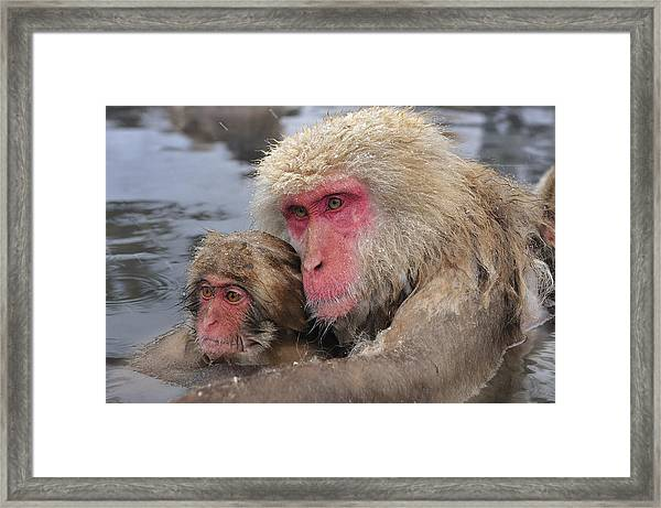 Japanese Macaque Mother And Young Framed Print