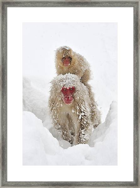 Japanese Macaque Mother Carrying Baby Framed Print