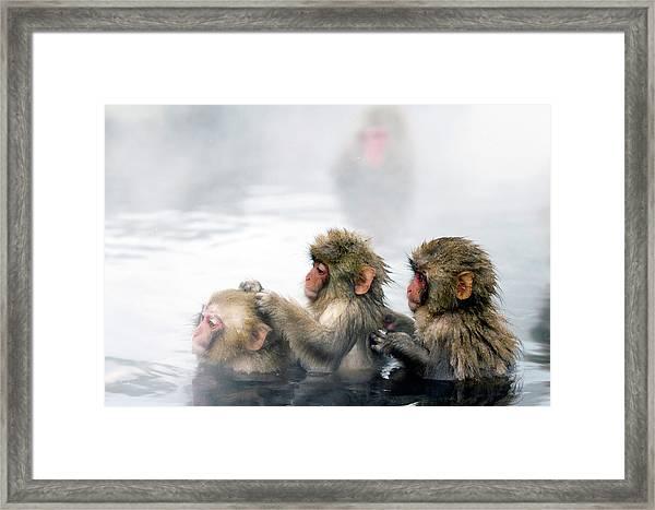 Japanese Macaque Snow Monkeys Bathing Framed Print