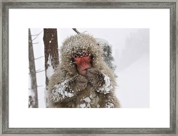 Japanese Macaque Young Jigokudani Framed Print