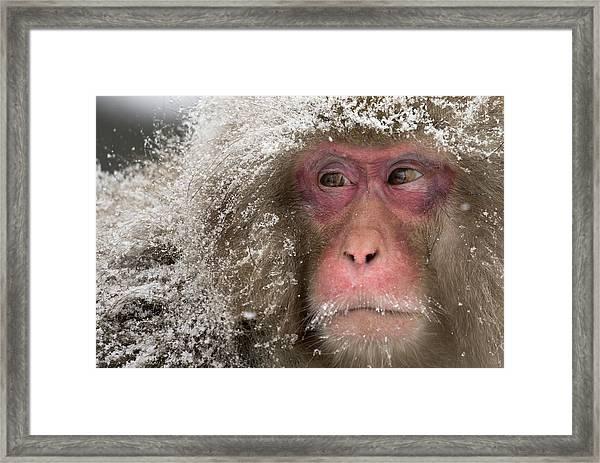 Japanese Macaques At Jigokudani Framed Print