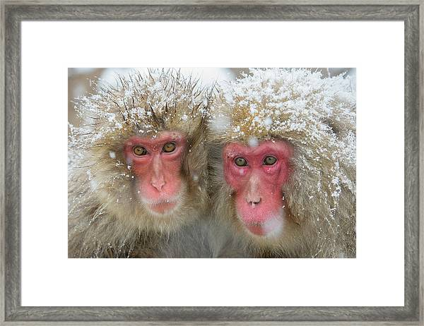 Japanese Macaques Framed Print by Dr P. Marazzi