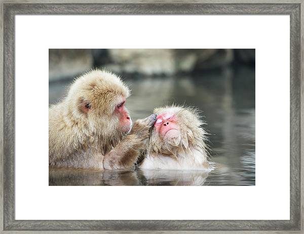 Japanese Macaques Grooming Framed Print by Dr P. Marazzi