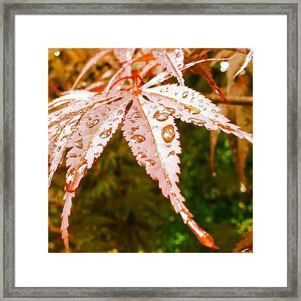 Japanese Maple Leaves Framed Print