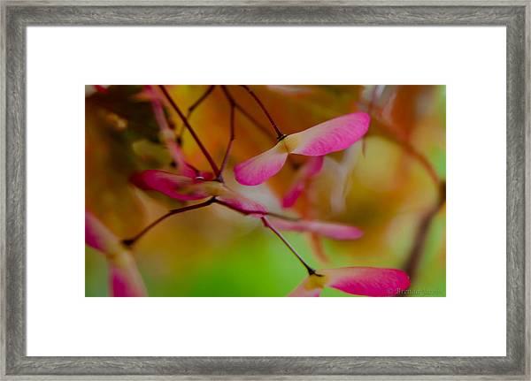 Japanese Maple Seedling Framed Print