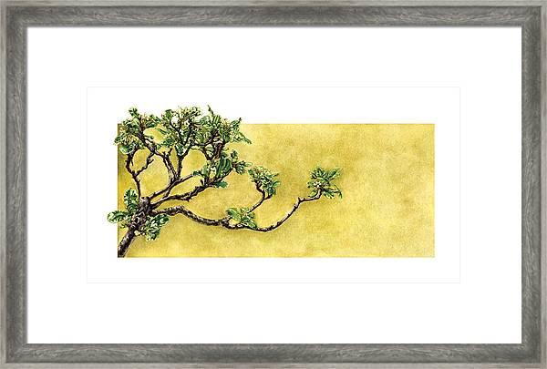 Japanese Pittosporum At The Hakone Gardens Framed Print by Suzannah Alexander