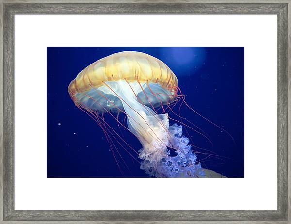 Japanese Sea Nettle Chrysaora Pacifica Framed Print