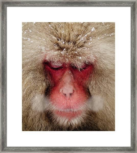 Japanese Snow Monkey Breathing In Cold Framed Print