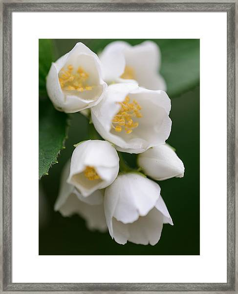 Jasmin Flowers Framed Print