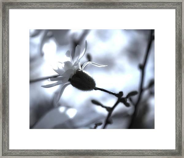 Jasmine Blossom Framed Print