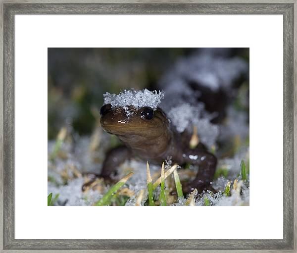 Jefferson Salamander Framed Print by Brian Magnier