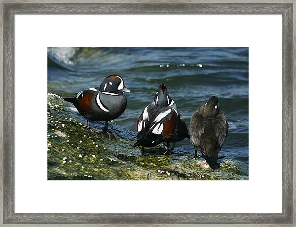 Jesters Of The Sea Framed Print