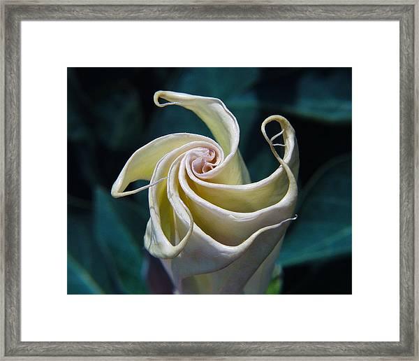 Jimsonweed Flower Spiral Framed Print