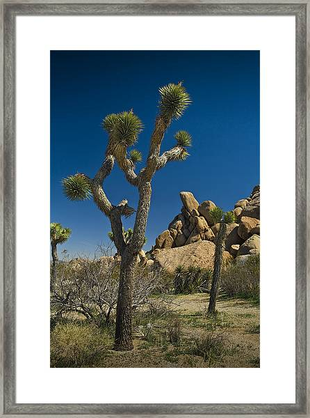 California Joshua Trees In Joshua Tree National Park By The Mojave Desert Framed Print