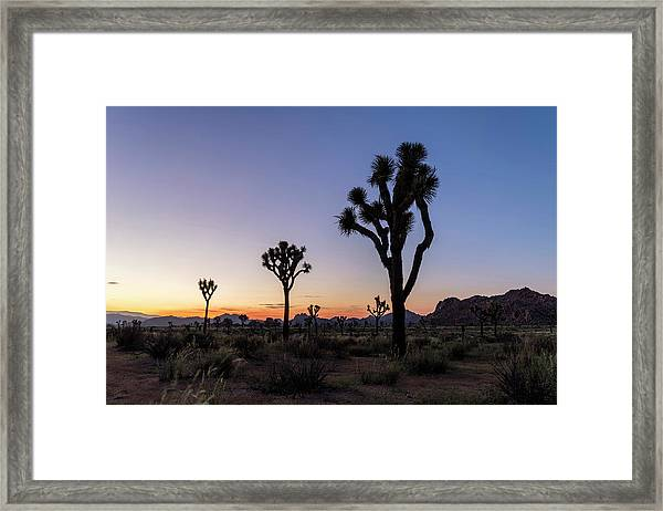 Joshua Trees (yucca Brevifolia) At Sunset Framed Print by Michael Szoenyi