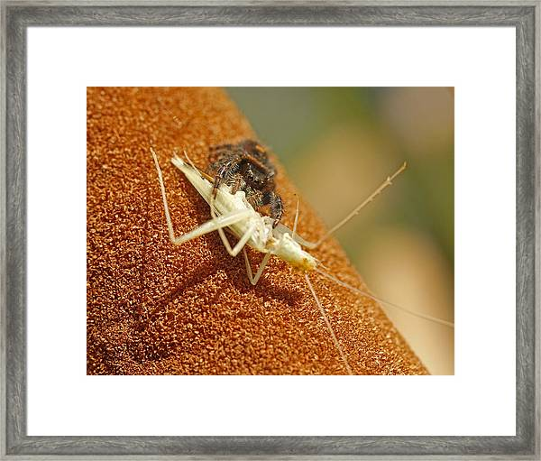 Jumping Spider With Cricket Framed Print by Brian Magnier