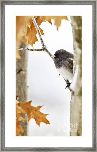 Junco And Oak Framed Print