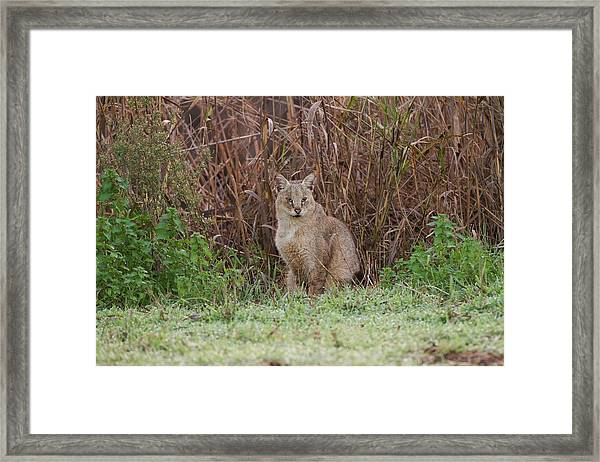 Jungle Cat (felis Chaus) In The Wild Framed Print