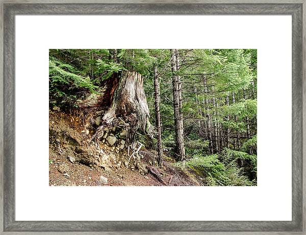 Just Hanging On Old Growth Forest Stump Framed Print