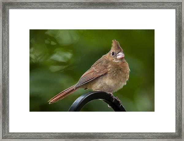 Juvenile Cardinal Framed Print