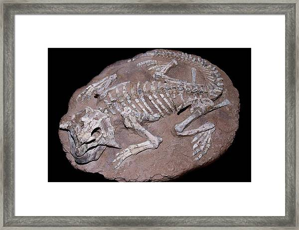 Juvenile Dinosaur Skeleton Framed Print by Sinclair Stammers