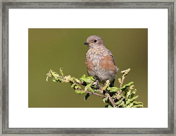 Juvenile Western Bluebird Framed Print