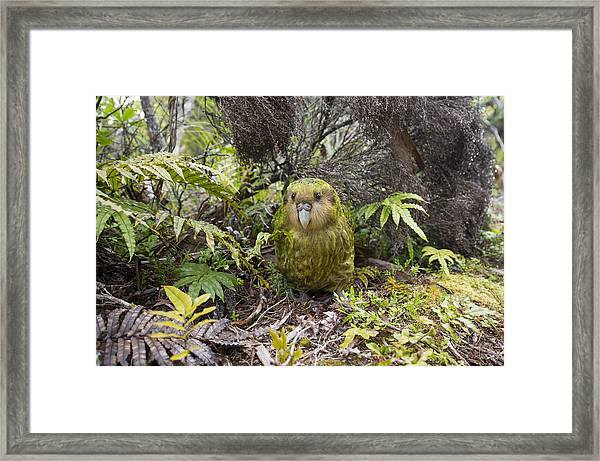 Kakapo Male In Forest Codfish Island Framed Print