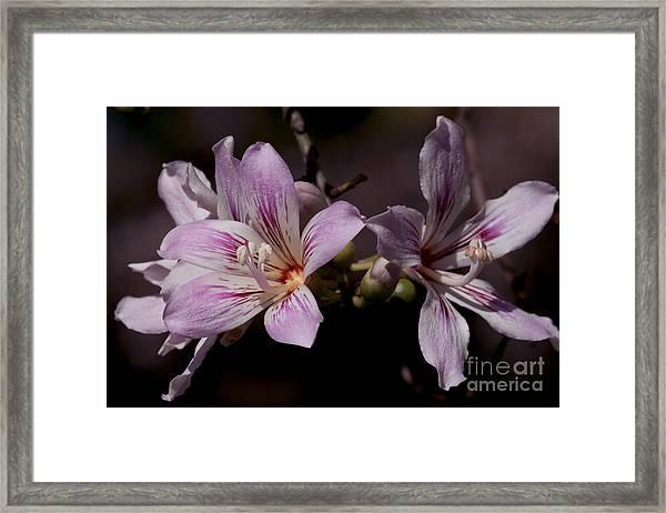 Kapok Bloom Framed Print