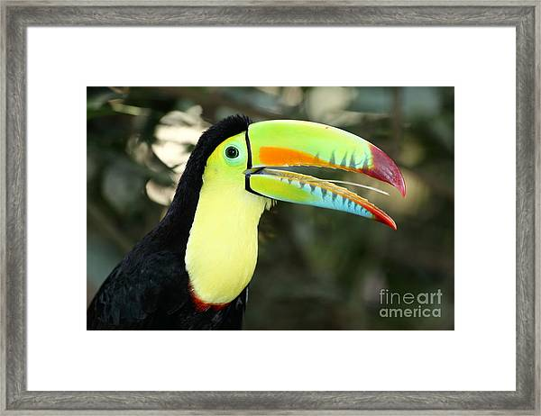 Keel Billed Toucan Framed Print