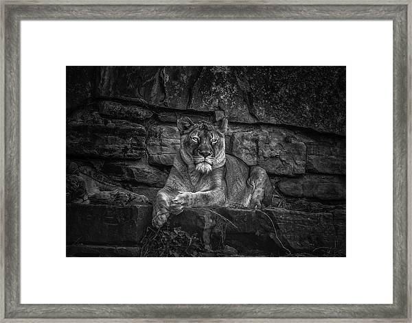 Keen Eyed Lioness Framed Print